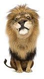 Rei da selva Foto de Stock Royalty Free