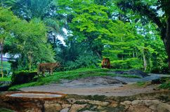 Rei da selva Fotografia de Stock
