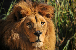 Rei da selva Fotografia de Stock Royalty Free