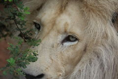 Rei da selva imagens de stock royalty free