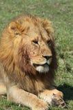 Rei de África Fotografia de Stock Royalty Free
