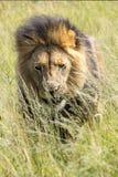 Rei de África Leão masculino Imagens de Stock