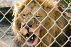 Rei de bocejo Fotografia de Stock Royalty Free