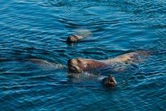 Rei de mar Foto de Stock