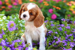 Rei descuidado bonito Charles Spaniel Puppy Fotografia de Stock Royalty Free