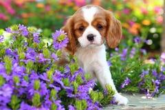 Rei descuidado bonito Charles Spaniel Puppy 2 Fotografia de Stock