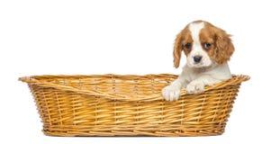Rei descuidado Charles Puppy, 2 meses velho, em uma cesta de vime fotos de stock