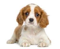 Rei descuidado Charles Puppy que encontra-se e que enfrenta fotografia de stock royalty free