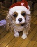 Rei descuidado Charles Spaniel com chapéu do Natal Imagens de Stock Royalty Free