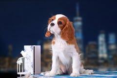 Rei descuidado Charles Spaniel do cachorrinho no fundo da cidade da noite fotos de stock royalty free