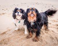 Rei descuidado Charles Spaniel na praia Fotos de Stock