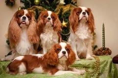 Rei descuidado Charles Spaniel no fundo da árvore de Natal fotos de stock