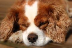 Rei descuidado de sono Charles Spaniel Dog Imagens de Stock Royalty Free