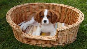 Rei descuidado pequeno bonito Charles Spaniel que encontra-se na cesta de madeira Fotografia de Stock Royalty Free