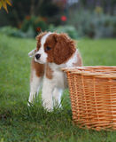 Rei descuidado pequeno bonito Charles Spaniel que está ao lado da cesta de madeira imagem de stock