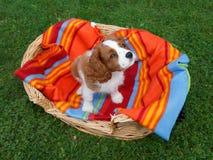 Rei descuidado pequeno bonito Charles Spaniel que senta-se na cobertura colorida na cesta de madeira Imagens de Stock Royalty Free