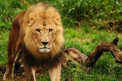 Rei do leão Imagens de Stock