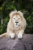 Rei do leão branco Fotografia de Stock