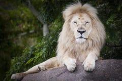 Rei do leão branco Imagens de Stock
