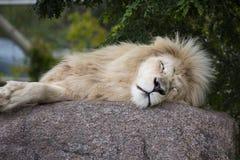 Rei do leão branco Foto de Stock