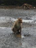 Rei do macaco imagem de stock royalty free