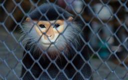Rei do macaco imagem de stock