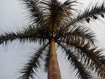 Rei dos cocos Fotografia de Stock