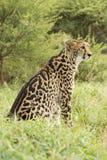 Rei fêmea Cheetah (jubatus) do Acinonyx África do Sul fotos de stock royalty free