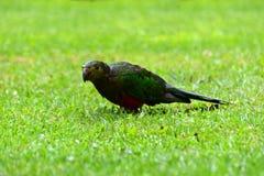 Rei fêmea Parrot na chuva fotos de stock royalty free