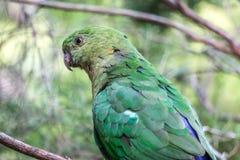 Rei juvenil selvagem Parrot, rainha Mary Falls, Queensland, Austrália, em março de 2018 imagens de stock
