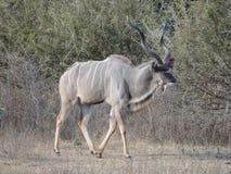 Rei Kudu Foto de Stock Royalty Free