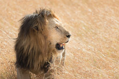 Rei Male Lion Portrait no Masai Mara Imagem de Stock