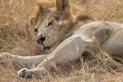 Rei Male Lion Portrait no Masai Mara Imagens de Stock Royalty Free