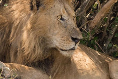 Rei Male Lion Portrait no Masai Mara Foto de Stock
