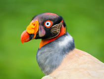 Rei masculino Vulture Bird - ascendente próximo do retrato Fotos de Stock Royalty Free