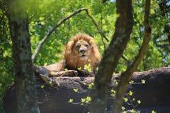 Rei observador Imagem de Stock Royalty Free