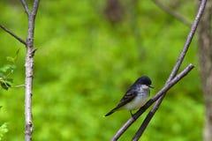 Rei oriental Pássaro Fotos de Stock