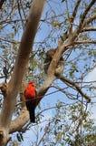 Rei Parrot da coala e do australiano Imagens de Stock Royalty Free