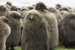 Rei Penguin Chicks que está junto no berçário na chuva Foto de Stock Royalty Free