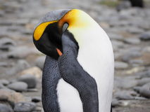Rei Penguin em Georgia Antarctica sul imagem de stock royalty free