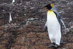 Rei Penguin, Falkland Island, Ámérica do Sul fotografia de stock