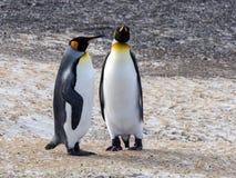 Rei Penguin, patagonicus do Aptenodytes, da ilha dos receptores acústicos, Falkland Islands-Malvinas Imagens de Stock Royalty Free