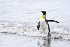 Rei Penguin (patagonicus do Aptenodytes) que vem para fora a água fotografia de stock royalty free