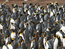 Rei Penguins Foto de Stock Royalty Free