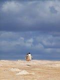 Rei Penguins imagem de stock