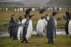 Rei Penguins em planícies de Salisbúria fotografia de stock