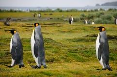 Rei Penguins em planícies de Salisbúria imagem de stock