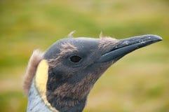 Rei Penguins em planícies de Salisbúria fotos de stock