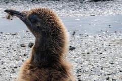 Rei Penguins em planícies de Salisbúria imagem de stock royalty free