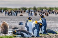 Rei Penguins em planícies de Salisbúria foto de stock royalty free